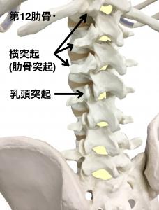 腰椎横突起骨折(肋骨突起)|大阪市住吉区長居藤田鍼灸整骨院