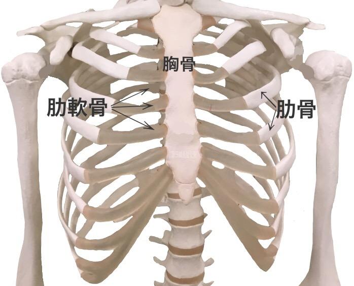 「胸骨」の画像検索結果