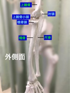 肘関節外側面|大阪市住吉区長居藤田鍼灸整骨院
