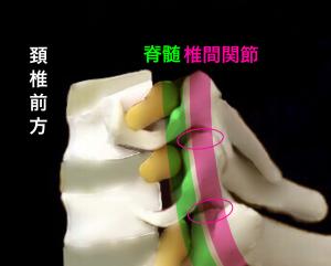 頚椎椎間関節|大阪市住吉区長居藤田鍼灸整骨院