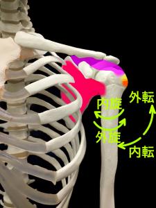 腱板の働き|大阪市住吉区長居藤田鍼灸整骨院