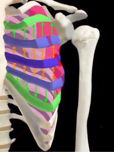 不安定でずれやすい肋骨骨折のイメージ|大阪市住吉区長居|藤田鍼灸整骨院