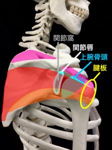 腱板は、関節包や靭帯、関節唇、筋肉などの軟部組織や、関節包の中の圧力とともに肩関節を安定させる|藤田鍼灸整骨院