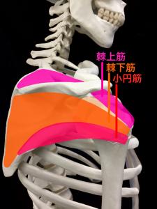 棘上筋、棘下筋、小円筋、肩甲下筋で腱板は作られます|大阪市住吉区長居藤田鍼灸整骨院