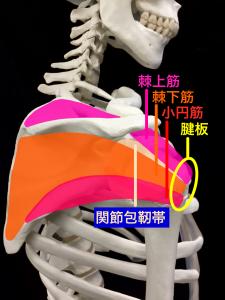 肩関節不安定症―肩関節を安定させる筋肉と腱|住吉区長居藤田鍼灸整骨院