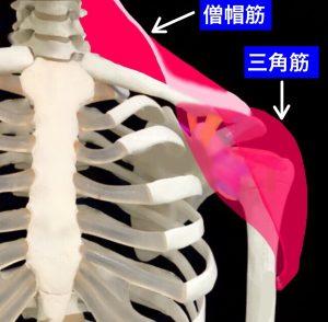 三角筋と僧帽筋は肩鎖関節を安定させる|大阪市住吉区長居藤田鍼灸整骨院