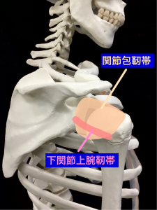 関節包や靭帯が腱板とともに肩関節を安定させる|藤田鍼灸整骨院