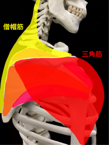 三角筋と僧帽筋は腱板とともに肩関節を安定させる|大阪市住吉区長居藤田鍼灸整骨院