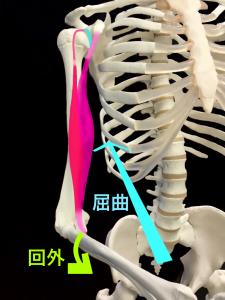 上腕二頭筋は肘を曲げ前腕を外側へ捻る|大阪市住吉区長居藤田鍼灸整骨院