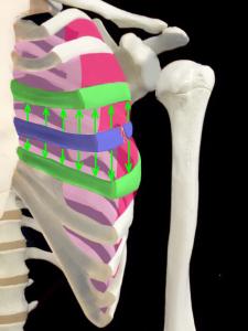 安定した肋骨骨折のイメージ|大阪市住吉区長居藤田鍼灸整骨院