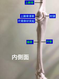 肘関節内側面|大阪市住吉区長居藤田鍼灸整骨院
