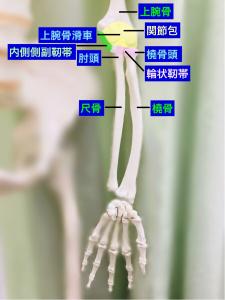 肘関節の構成と靭帯|大阪市住吉区長居藤田鍼灸整骨院