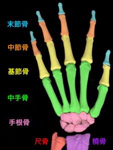 手指の骨、末節骨、中節骨、基節骨、中手骨、手根骨|大阪市住吉区長居藤田鍼灸整骨院