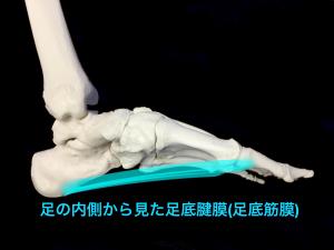 足底腱膜(足底筋膜)側面|藤田鍼灸整骨院