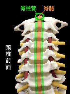 頚部脊柱管と脊髄|藤田鍼灸整骨院