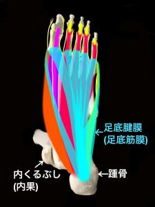 足底腱膜(足底筋膜)と足底の筋肉、神経|住吉区長居藤田鍼灸整骨院