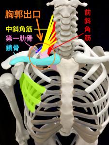 胸郭出口|大阪市住吉区長居藤田鍼灸整骨院