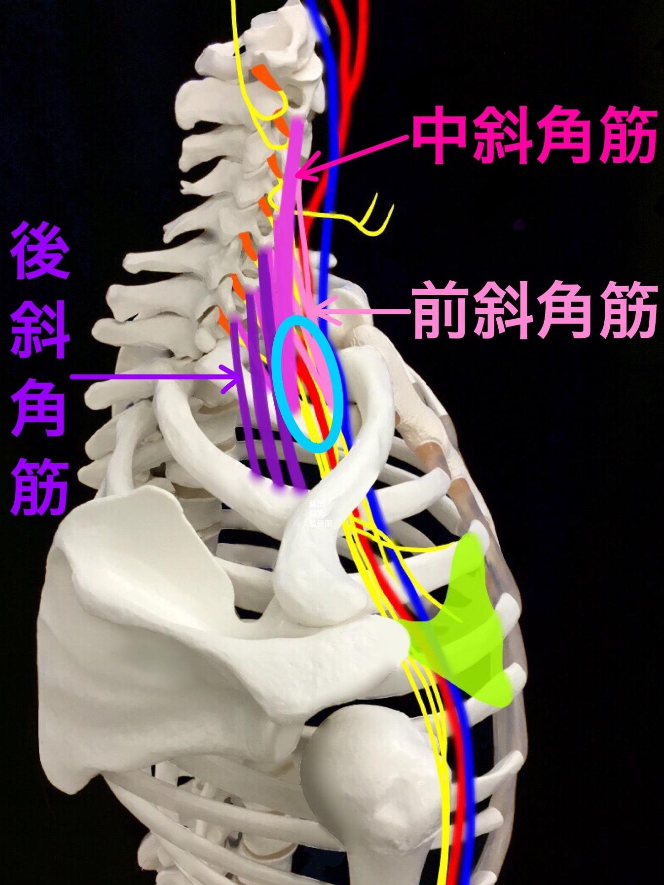 胸郭 出口 症候群 筋 トレ