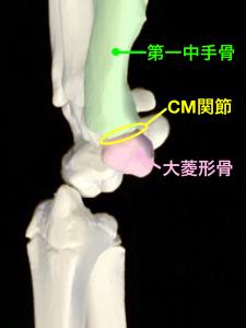 中手骨と大菱形骨で構成されるCM関節|藤田鍼灸整骨院