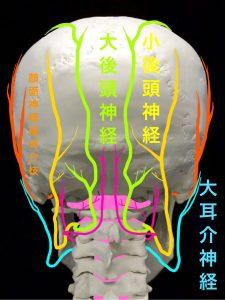 後頭神経の走行大後頭神経と小後頭神経と大耳介神経|大阪市住吉区長居藤田鍼灸整骨院