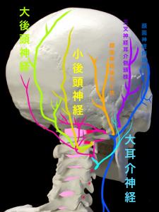 大後頭神経と小後頭神経と大耳介神経の走行|住吉区長居藤田鍼灸整骨院