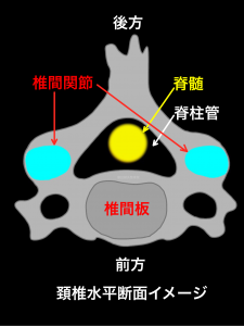 頚椎水平断面イメージ頚椎椎間板と頚椎椎間関節|大阪市住吉区長居藤田鍼灸整骨院