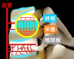 椎間板の栄養の取り込み方|大阪市住吉区長居藤田鍼灸整骨院
