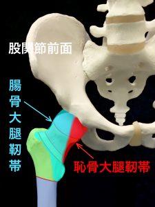 大腿骨頚部骨折に関係する股関節の靭帯と関節包|住吉区長居藤田鍼灸整骨院