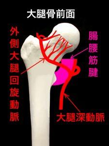 大腿骨頚部骨折、骨頭部を栄養する血管-回旋動脈|住吉区長居藤田鍼灸整骨院