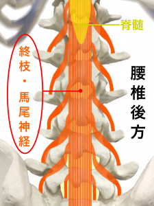 坐骨神経痛ー脊髄と馬尾神経|大阪市住吉区長居藤田鍼灸整骨院