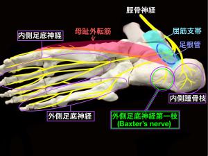 足根管部と母趾外転筋部で障害される足底の神経・Baxter's nerve・足底神経|大阪市住吉区長居藤田鍼灸整骨院