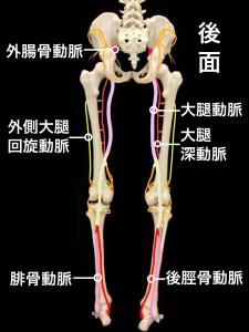 下肢閉塞性動脈硬化症|動脈硬化となる血管|大阪市住吉区長居藤田鍼灸整骨院