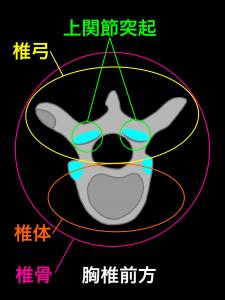 胸椎椎骨の椎体と椎弓を上から見たところ|大阪市住吉区長居藤田鍼灸整骨院