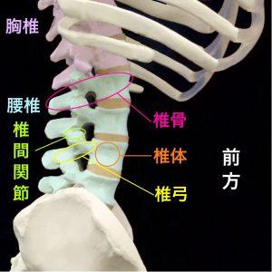 腰椎椎骨の椎体部分と椎弓部分|住吉区長居藤田鍼灸整骨院