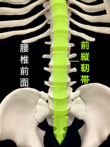 前縦靭帯|大阪市住吉区長居藤田鍼灸整骨院
