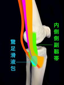 鵞足滑液包炎ー鵞足と内側側副靱帯の間にある鵞足滑液包 大阪市住吉区長居藤田鍼灸整骨院
