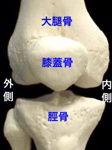 膝関節を構成する大腿骨と脛骨、膝蓋骨|住吉区長居藤田鍼灸整骨院