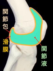 膝関節の関節包、滑膜、関節液|大阪市住吉区長居藤田鍼灸整骨院