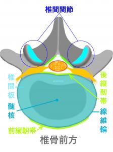 腰椎を繋ぐ椎間関節と椎間板|大阪市住吉区長居藤田鍼灸整骨院