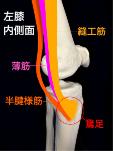 鵞足炎ー鵞足を構成する縫工筋と半腱様筋、薄筋 大阪市住吉区長居藤田鍼灸整骨院