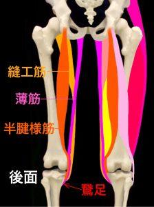 鵞足炎鵞足を構成する縫工筋と半腱様筋、薄筋 大阪市住吉区長居藤田鍼灸整骨院
