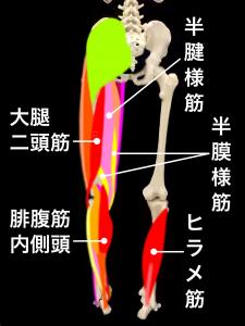 肉離れの好発部位ーハムストリングス(大腿二頭筋・半腱様筋・半膜様筋)・腓腹筋内側頭・ヒラメ筋|住吉区長居藤田鍼灸整骨院