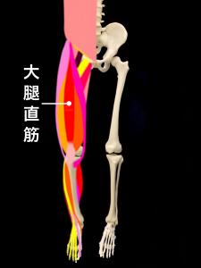 肉離れの好発部位ー大腿直筋|住吉区長居藤田鍼灸整骨院