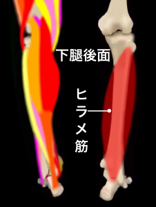 シンスプリントを引き起こすとされる筋肉①ヒラメ筋|住吉区長居藤田鍼灸整骨院