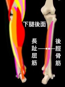 シンスプリントを引き起こすとされる筋肉②後脛骨筋・長趾屈筋|住吉区長居藤田鍼灸整骨院