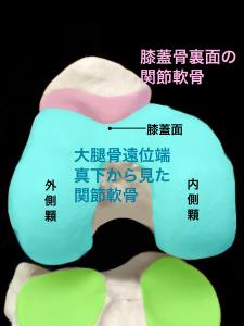 膝関節・大腿骨遠位端と膝蓋骨の関節軟骨