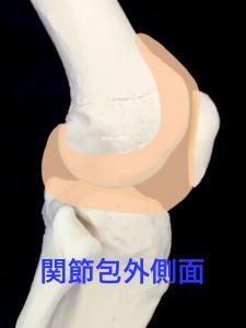 膝関節関節包外側面|大阪市住吉区長居藤田鍼灸整骨院
