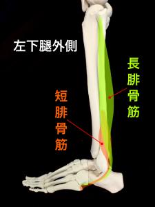 腓骨筋(長腓骨筋・短腓骨筋)|住吉区長居藤田鍼灸整骨院