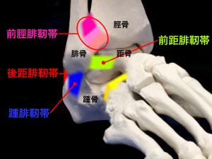 足関節ー前距腓靭帯・踵腓靭帯・後距腓靭帯と前脛腓靭帯|大阪市住吉区長居藤田鍼灸整骨院