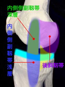 右膝内側側副靱帯・浅層・深層・後斜靭帯|住吉区長居藤田鍼灸整骨院